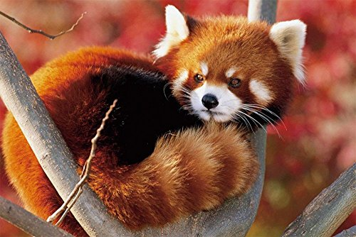 50x80 Blanket Comfort Thin Soft Air Conditioning A baby red panda