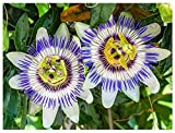Passion Flower Seeds - Passiflora Caerulea