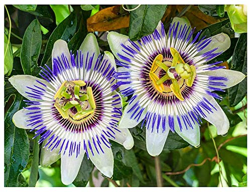 Passion Flower Seeds - Passiflora Caerulea - Flowering and Fruiting Vine Seeds - Evergreen Climber. 10 Seeds.