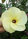 5 seeds - Abelmoschus manihot - Sunset Hibiscus