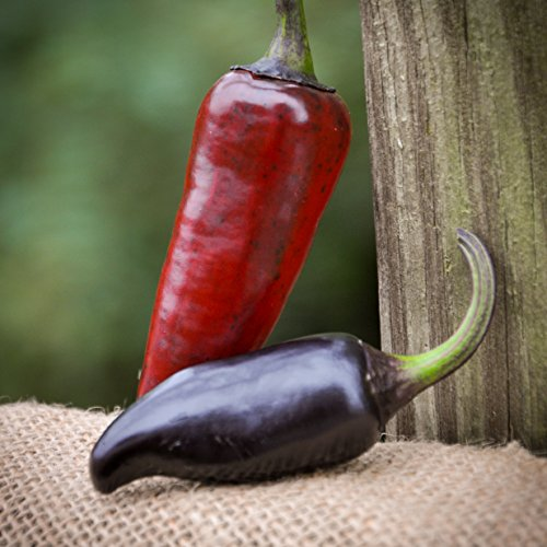Purple Serrano Chile Pepper Premium Seed Packet Record Hottest In The World + More