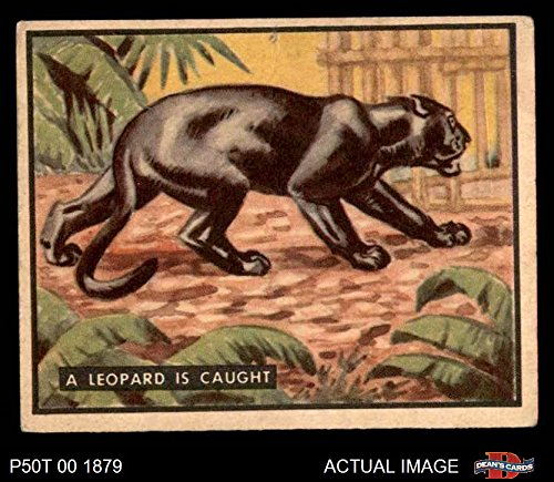 Alive Leopard (1950 Topps Bring Em Back Alive # 82 Leopard Is Caught (Card) Dean's Cards 2 - GOOD 3087971)