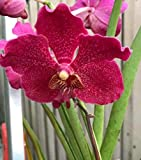Seeds: Vanda Hilo Rose x V. Patcharee Delight semi terete Orchid Seed