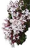 """Hardy Jasmine - Jasminum Officinale - 1 Live Starter Plug Plant Rooted in 2.5"""" Pot - Deliciously Fragrant 
