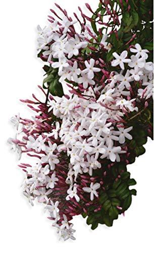Hardy Jasmine - Jasminum Officinale - 1 Live Starter Plug Plant Rooted in 2.5