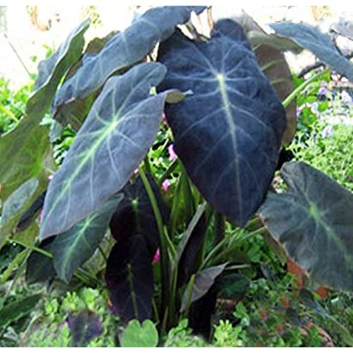 "Black Beauty Elephant ear ""Exotic"" Easy to grow! Live Plant at least 15"" tall and FREE package of flower seeds"