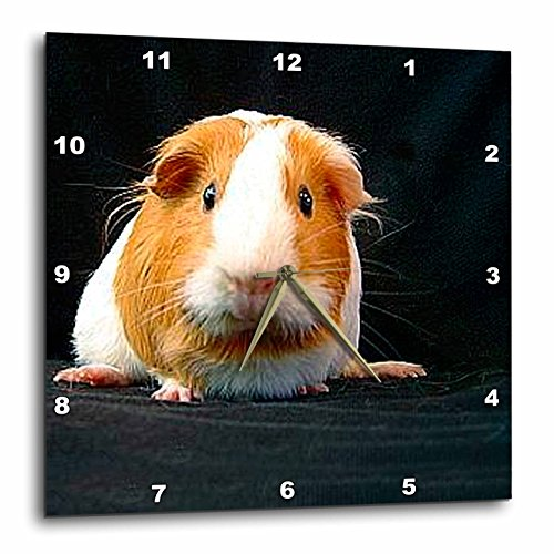 3dRose DPP_1062_1 Guinea Pig Wall Clock, 10 by 10-Inch