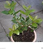 25 Seeds - Bay Leaf Plant Seed a.K.a Sweet Bay, Bay
