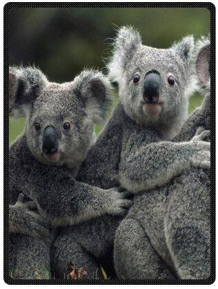 Cute Koala bear Plush Throw Blanket Travel Blanket 58