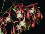 Andy`s Orchids - Epidendrum porphyreum - Orchid Plant - Indigenous to Ecuador