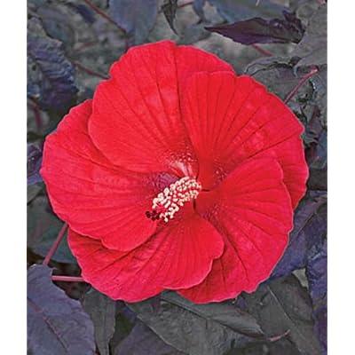 10 Midnight Marvel Hardy Hibiscus Seeds : Garden & Outdoor