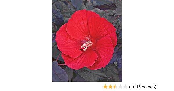 Amazoncom 10 Midnight Marvel Hardy Hibiscus Seeds Garden Outdoor
