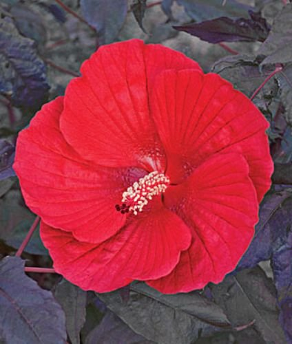 10 Midnight Marvel Hardy Hibiscus Seeds