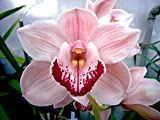 Orchid Insanity -- PENNY'S WORTH -- Cymbidium cute pink blooms pendulous flower spike EASY TO GROW (NOT IN BLOOM WHEN SHIPPED)