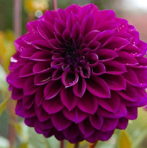 (Diva Dahlia 2 Bulb Clumps - Semi Cactus -)