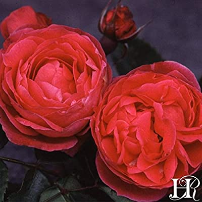 Own-Root One Gallon Alexander Mackenzie Hardy Rose by Heirloom Roses : Garden & Outdoor