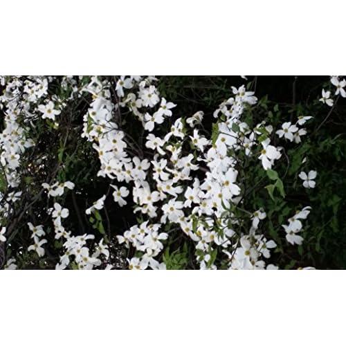 2 gallon pot dogwood daybreaknativetree variegated dogwood with 2 gallon pot dogwood daybreaknativetree variegated dogwood with white flowers mightylinksfo Images