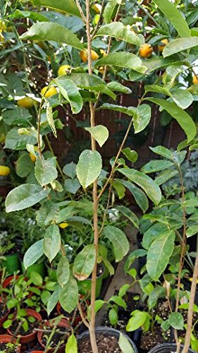 9EzTropical - Soursop Tree - 1 Plants -2 Feet Tall - Ship in 1 Gal Pot (Fruit Tree Soursop)