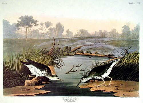 Spotted Sandpiper. From''The Birds of America'' (Amsterdam Edition) Pl. 310 by