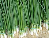 Welsh Onion Pyero - 800 Seeds - Organically Grown - NON-GMO