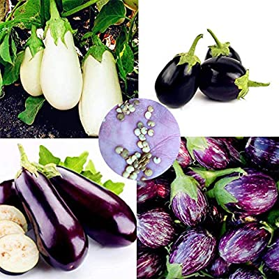 BYyushop 200Pcs Imperial Eggplant Seeds Nutritious Vegetable Garden Back Yard Planting for Planting Outside Door Nursery Pot Cooking Eggplant Seeds : Garden & Outdoor