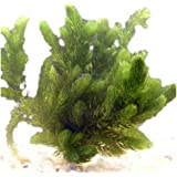 Hughes Water Gardens Oxygenating Hornwort (1 Bunch - 6 Stem Plants)