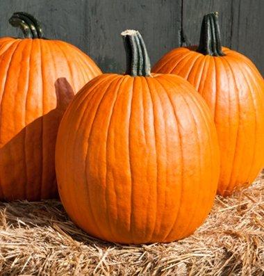 David's Garden Seeds Pumpkin Cargo PMR D3978POI (Orange) 25 Hybrid Seeds