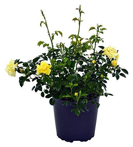 Yellow Carpet Rose - Yellow Flower Carpet Rose, yellow flowering rose in 2 Gallon pot