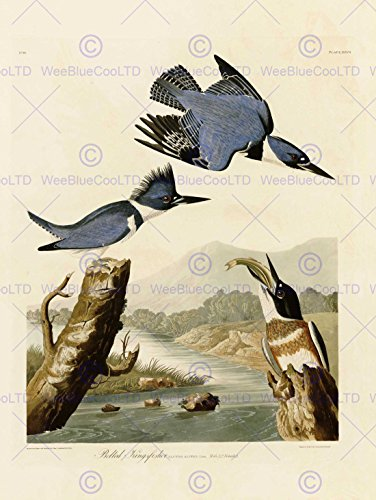 painting-book-page-birds-america-audubon-belted-kingfisher-poster-print-bb12465b