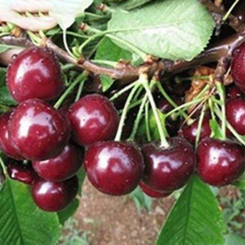 Bornbayb Cherry Tree Shrub Seeds Edible Fruit Bearing Tree Seeds Sweet Cherry Tree Seeds ()