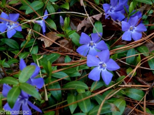 Perennial Vinca Vine 50 Live Plants evergreen ground cover (periwinkle, ()