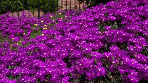 NEW! 50+ DELOSPERMA PURPLE ICE PLANT FLOWER SEEDS /PERENNIAL ()