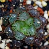 succulent and cactus,Haworthia cooperi var truncata,USA