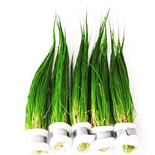 Product image of Mainam Dwarf Hairgrass Easy Live Aquarium Freshwater Plants Decorations 3 Days Live Guaranteed
