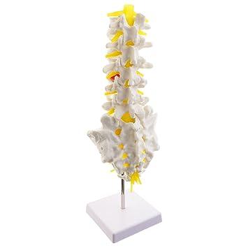MagiDeal 1: 1 Mensch 5 Lendenwirbel Steißbein Skelett Modell für ...