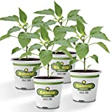 Bonnie Plants 4P2500 Jalapeno Hot Pepper (4-Pack)