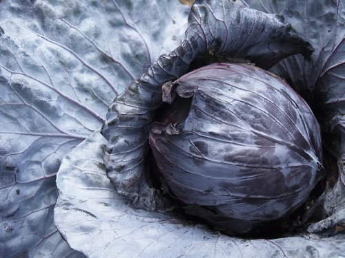 red cabbage seeds - 9