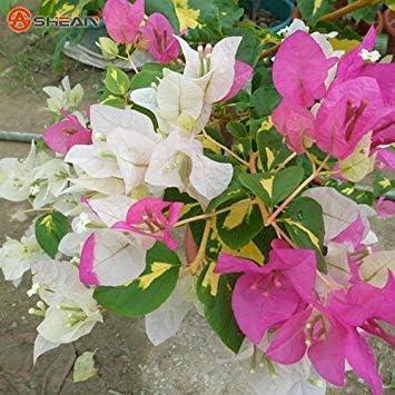 VISTARIC semillas de árboles Cotinus coggygria chinos reales de ...