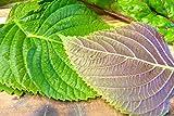 "1000 KOREAN PERILLA SEEDS,""Shiso"" (Perilla Frutescens) Korean specialty Herb !"
