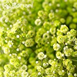 7 Bunches Baby´s Breath - Apple-Green tinted Variety - XXL Blooms