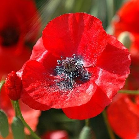 Red Corn Poppy Seeds - 1/4 Pounds, Red Flowers