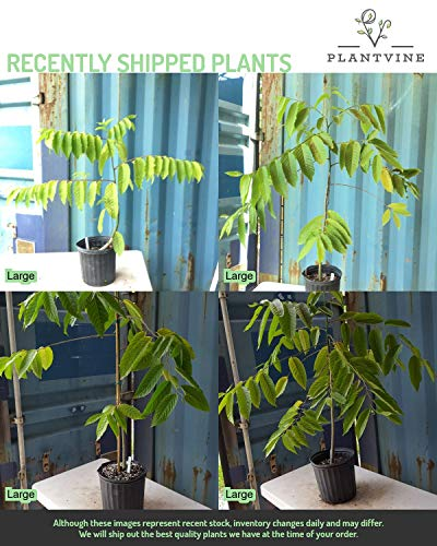 PlantVine Cananga odorata, Ylang-ylang Tree - Extra Large, Tree - 12-14 Inch Pot (7 Gallon), Live Plant by PlantVine (Image #2)