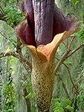 Amorphophallus konjac - Devils Tongue - 2 seeds