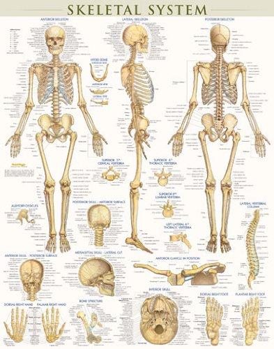 Skeletal System-Laminated - Skeletal System Poster