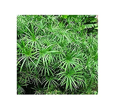 Indian Farms Live Umbrella Palm Plant With Pot Decorative Indoor Outdoor Plant Amazon In Garden Outdoors