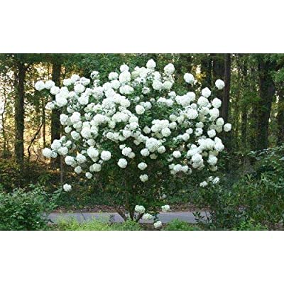 AchmadAnam - Live Plant - Chinese Snowball Bush - Shipped 1 to 2 Feet Tall : Garden & Outdoor
