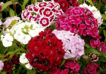 200 Seeds Sweet William Mix Dianthus- Easy to Grow (Sweet Grow William)