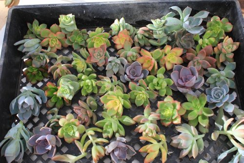 (25 Succulent Rosette Style CUTTINGS Great for Vertical Gardens, Weddings and Wreaths)
