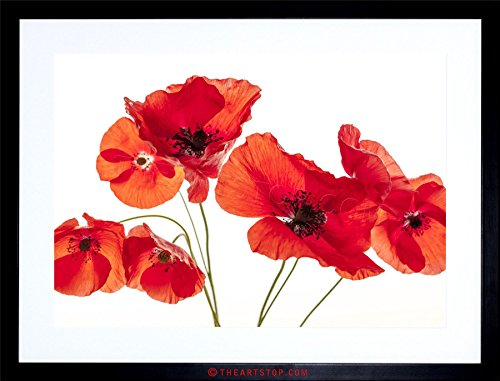 (The Art Stop Photo Nature Flower Poppy Heads RED Petals Framed Print F97X5428)