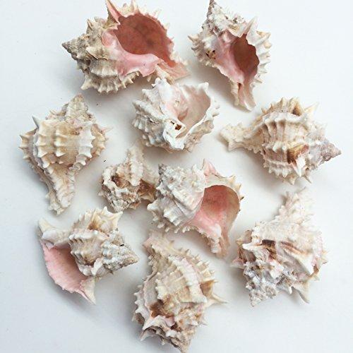 Murex Shell - PEPPERLONELY 10PC Pink Murex Shells Sea Shells, 2 Inch ~ 3 Inch